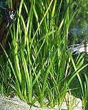 Italian Val Plant Live Freshwater Easy Aquarium Plant