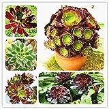 100 PCS Rare Aeonium Arboreum Atropureum Seed The World's Rare Flowers Seeds Atropureum Seed Plants Garden Home DIY Seeds Bonsai