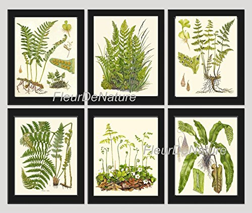 Botanical Set of 6 Prints Unframed Antique Beautiful Ferns Green Forest Nature Home Room Fern Decor Wall Art ()