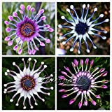 50 Trailing African Daisy Seeds ,easiest growing flower, hardy plants flower seeds 50 Blue