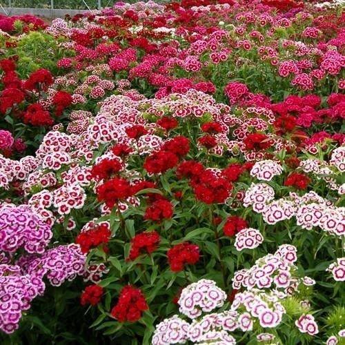 Dianthus Barbatus Carnation Sweet William Heirloom Mix Flower 100+ Seeds (Fresh) ()