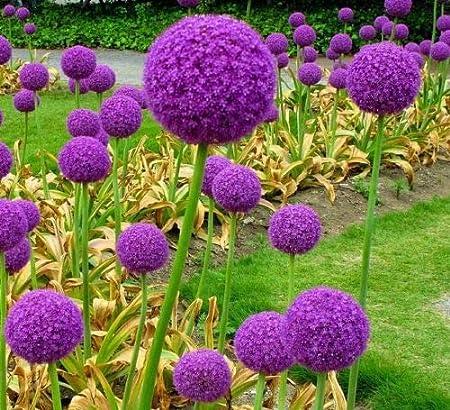 Amazon Com 1 Allium Gladiator Bulb Large Blooming Size 18 20 Cm