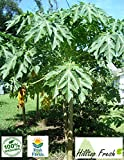 Fresh papaya leaves - ORGANIC - 2 oz - Certified fresh from Florida - Harvested fresh from trees after an order is placed
