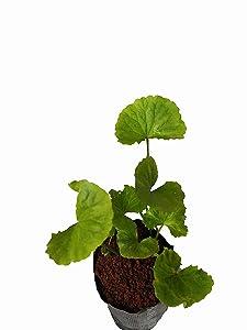 Brahmi( Mandukparni ) Centella Asiatica, The Medicinal Ayurvedic Herb Plant (Green,MP-19)