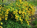 KERRIA JAPONICA 'FLORE PLENO'- PLANT