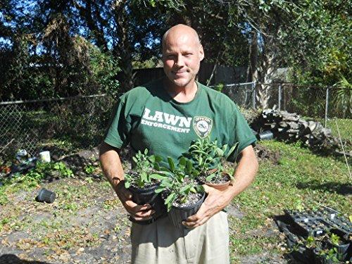 Broadleaf Sage ( 50 seeds) Salvia Officinalis heirloom (Broadleaf Sage)