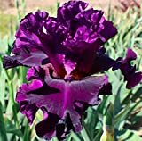 Fine Wine Dark Purple BEARDED REBLOOMING IRIS (1) Rhizome/Bulb/Root Ready for Planting Now