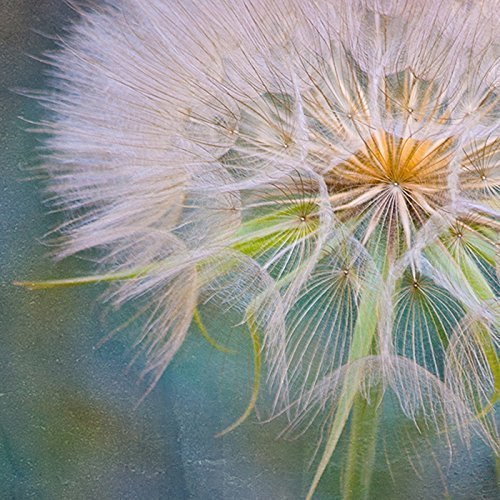 11x14 Photograph Pink Dandelion Botanical Nature Flower Photography Print by Catch A Star Fine Art Photography