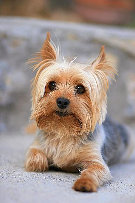 Amazoncom Portrait Of A Miniature Yorkshire Terrier Yorkie Photo