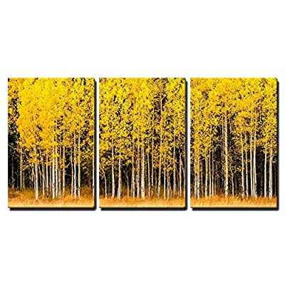 Stand of Changing Yellow Aspen Tree in Front of Dark Green Pine Trees x3 Panels, Classic Design, Magnificent Print