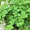 1000 Chervil Culinary and Medicinal Seeds #DS02