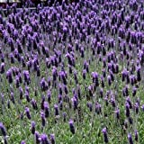 French Lavender Flower Seeds (Lavandula dentata) 50+Seeds