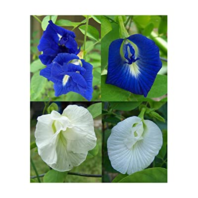 Butterfly Pea Vine Seeds: Single and Double Blue and White Mix, Clitoria ternatea, Bunga telang, Edible/Tea and Decorative, Butterfly Garden/Host Plant (15+ Seeds) from USA. : Garden & Outdoor