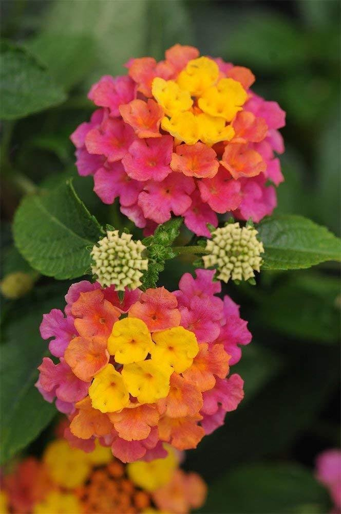 4 Plants.Lantana Confetti; Flowering Plant Bush, Live Potted, 10''+