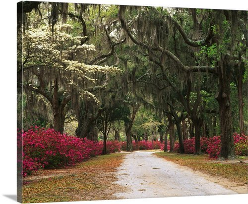 greatBIGcanvas Georgia, Savannah, Road lined with azaleas and live oaks and Spanish moss by Adam Jones Photographic Print with Black Frame, 36