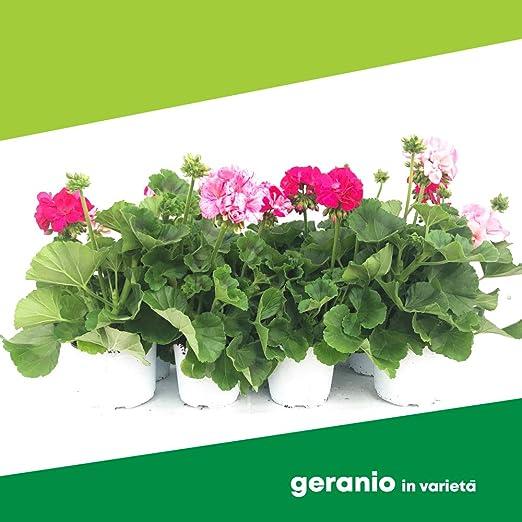 Piante Fiori.Geranio In Varieta 6 Piante Fiori Non Commestibili Azienda