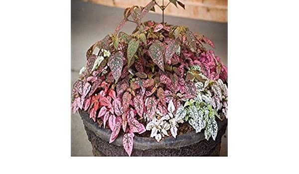 Hypoestes Confetti Compact Mix Seeds Eailt Grown House//Shade Plant Colourful
