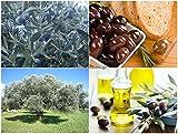 Organic Olive tree fresh seeds - Olea europaea / Kalamata variety +extra seeds