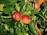 Gala Apple Tree Semi-Dwarf - Healthy Established - 1 Gallon Trade Pot - 1 each