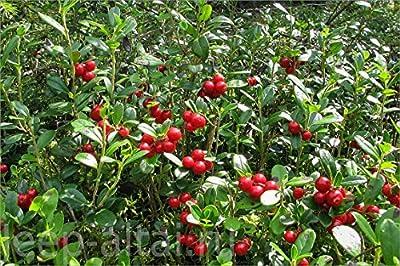 Vaccinium vitis-idaea - Lingonberry