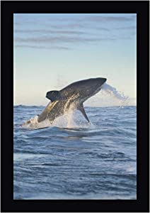 """South Cape Town A Great White Shark Hunting by Josh Anon 20"""" x 28"""" Black Framed Canvas Giclee Art Print - Ready to Hang"""