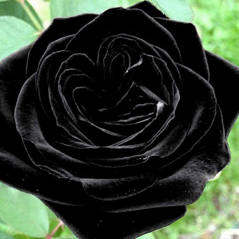 XKSIKjians Garden 100Pcs Mysterious Black Rose Flower Plant Seeds Ornamental Plant Home Yard Office Decor Non-GMO Seeds Open Pollinated Seeds for Planting
