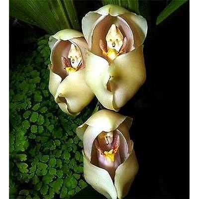 FD3629 Rare Eggs Baby Orchid Seeds Flower Seeds Plant Pot Yard Seed Bonsai 20PCs : Garden & Outdoor