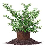 TIFBLUE BLUEBERRY - Size: 2-3 ft, live plant, includes special blend fertilizer & planting guide