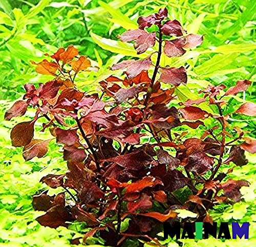 - Mainam Ludwigia Repens Super Red Freshwater Plants Bundle Tropical Aquatic Plant Decorations