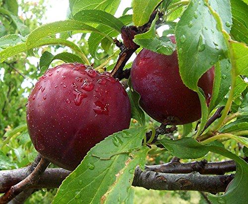 10 Seeds European Plum Fruit Tree (Prunus domestica) ()