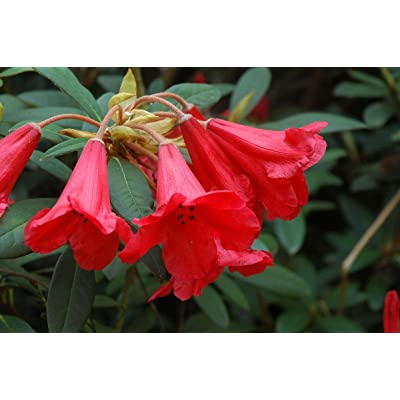"""Rhododendron May Day- Bright Orange-Red Bloom with Faint Brown Spots- Grows Three Feet Tall - 8"""" to 12"""" Wide Plant – Typically Two Gallon : Garden & Outdoor"""