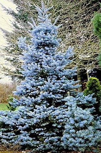 - Misty Blue Spruce 45 Seeds - Picea - Tree or Bonsai