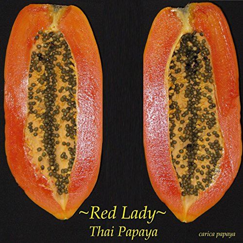 ~RED LADY~ Dwarf Thai PAPAYA short tree RED YUMMY FLESH imported 10 Fresh Seeds