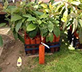 Fuerte Avocado Tree - Very Cold Hardy GRAFTED Live Avocado Tree