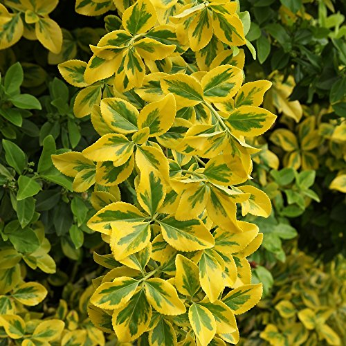 Cottage Hill 1 Piece Golden Euonymus Evergreen Plant, 3 Quart Trade Gallon pot