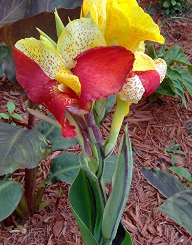 (Canna Lily Seeds - CLEOPATRA - Cannaceae - Great Potted Plant - 4 Fresh Seeds)