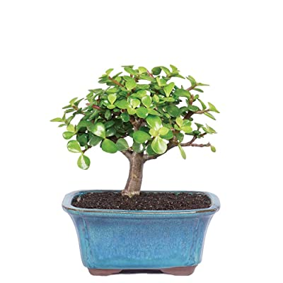 """Brussel's Live Dwarf Jade Indoor Bonsai Tree - 3 Years Old; 4"""" to 6"""" Tall with Decorative Container: Garden & Outdoor"""