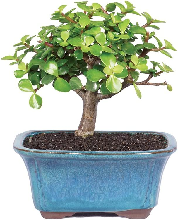 Amazon Com Brussel S Live Dwarf Jade Indoor Bonsai Tree 3 Years Old 4 To 6 Tall With Decorative Container Garden Outdoor