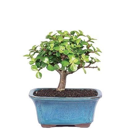 Outstanding Amazon Com Brussels Live Dwarf Jade Indoor Bonsai Tree 3 Years Wiring 101 Photwellnesstrialsorg