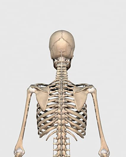Amazon rear view of human skeletal system showing upper back rear view of human skeletal system showing upper back poster print 25 x 32 ccuart Gallery