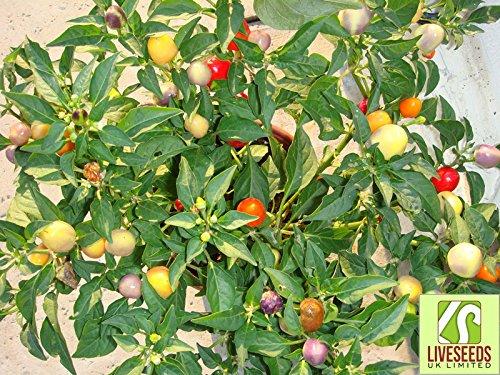 Liveseeds Jwala Chilli 10 seeds
