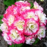 Geranium Seeds Appleblossom Rosebud Pelargonium Perennial Flower Seeds Hardy Plant Bonsai 10 seeds
