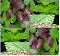 4 Packs x 50 GREEN SHISO PERILLA Seeds - BEEFSTEAK PLANT - BRITTON SEED - Purple Mint - Salad & Micro Mix - 80 - 85 Days - By MySeeds.Co