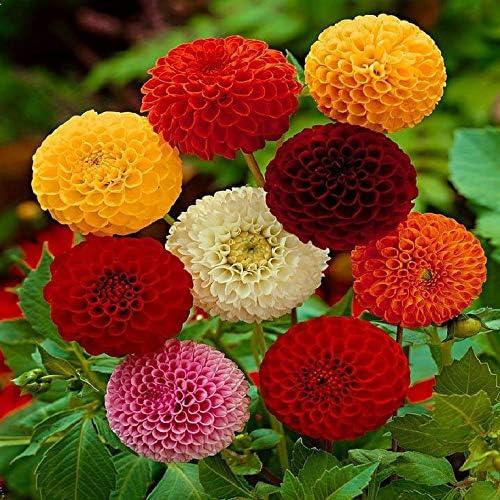 GL Seeds Dahlia Duet Mix Organic
