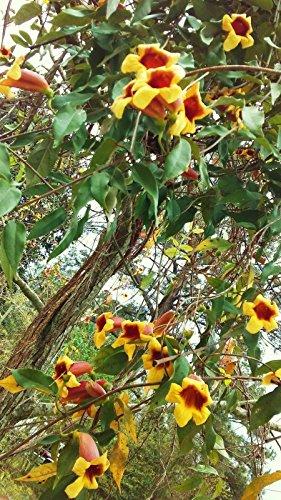 8 PLANTS CROSS VINES TANGERINE BEAUTY BIGNONIA YELLOW ORANGE RED TRUMPET FLOWER (Red Trumpet Flower)