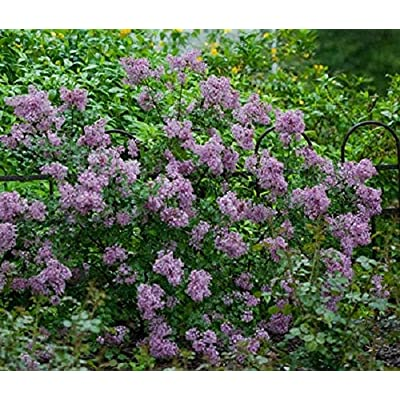Syringa Vulgaris Lilac Plant Fragrant Blooms, shrubs. Exceptionally Hardy, 1 yr Plant (1 Plant) by AchmadAnam : Garden & Outdoor