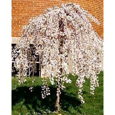 1 Live Potted Dwarf Weeping Cherry Tree Fresh Plant : Garden & Outdoor