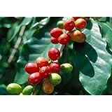 Arabica Catura Coffee Bean Tree 10 Seeds - Robust!