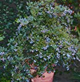 Sunshine Blue Blueberry (Vaccinium x 'Sunshine Blue')