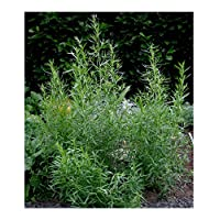 David's Garden Seeds Herb Tarragon SL8876 (Green) 200 Organic Seeds